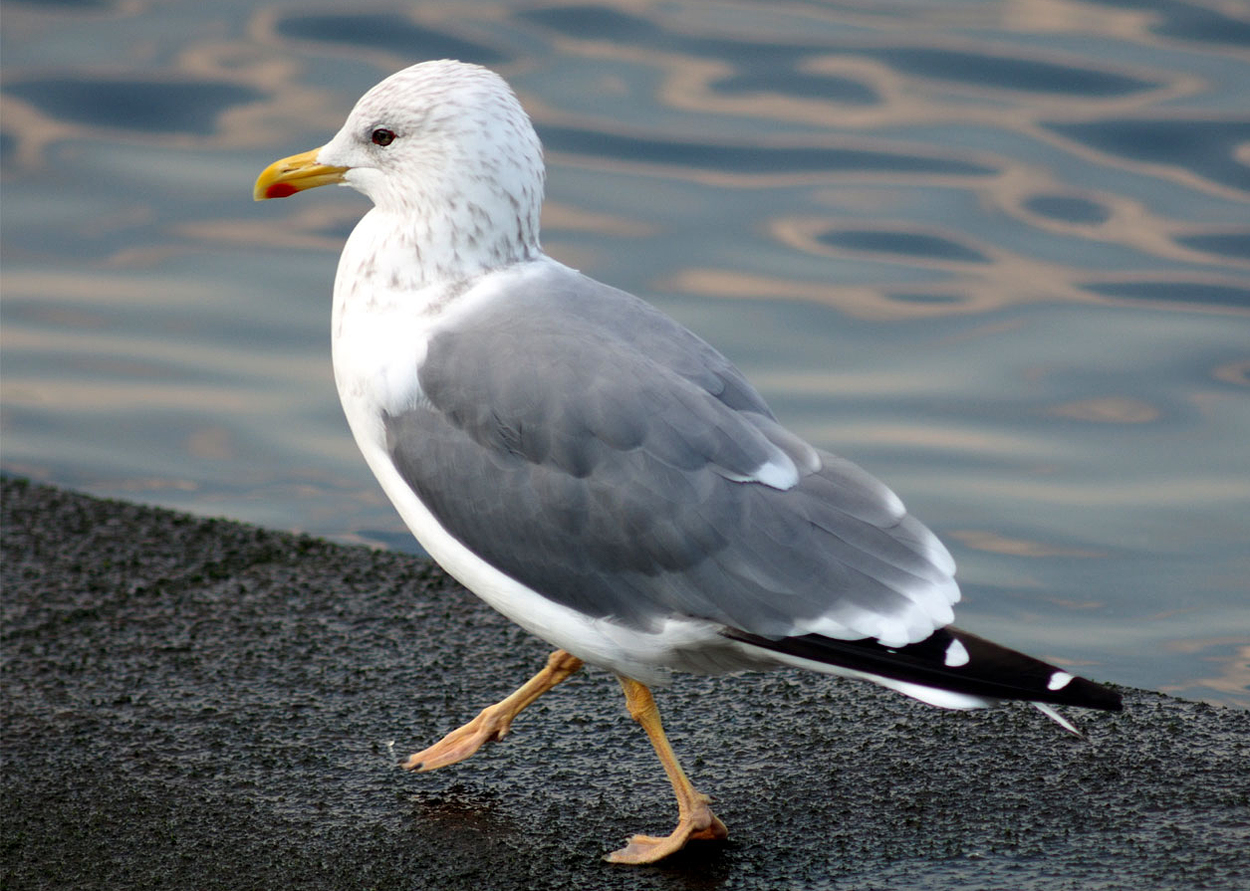 Birula Gull L. vegae birulai inhabit the region from western Yakutia and  east to Kolyma delta, while Vega Gull L. vegae breed from east of Kolyma  river to ...