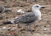 juvenile LBBG, ringed in the Netherlands.
