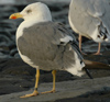 juvenile LBBG in October, ringed in Norway. (131273 bytes)