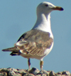 sub-adult LBBG in August, ringed in Belgium. (82012 bytes)