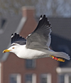 ad LBBG in Januari-April, ringed in the Netherlands. (60928 bytes)