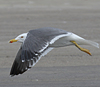 ad LBBG in Januari-April, ringed in the Netherlands. (94477 bytes)