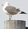 ad LBBG in Januari-April, ringed in the Netherlands. (80911 bytes)