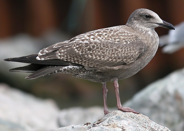 Larusology: Silver Herring Gulls - ? Visitors from the Arctic