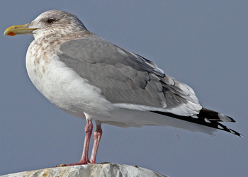 Gull Research Organisation