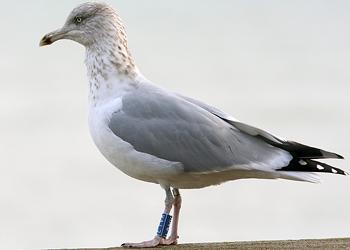 Female seagull - photo#21