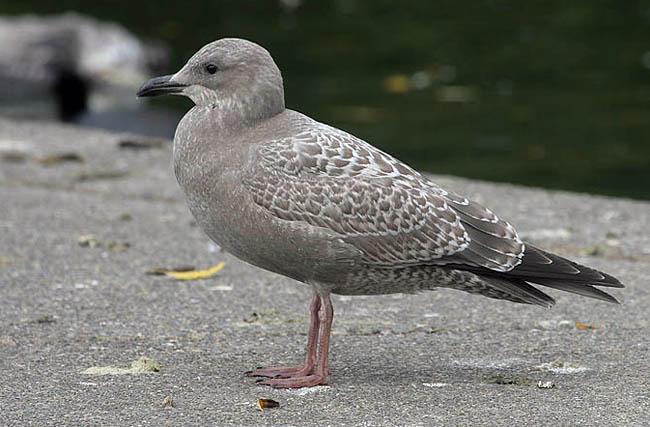 Female seagull - photo#34