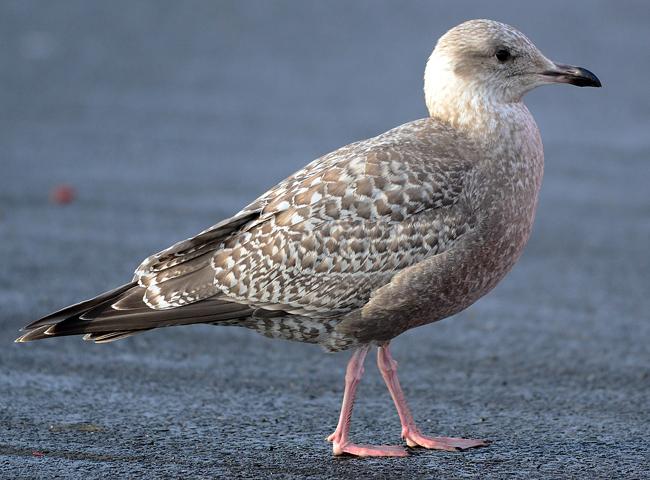 Portland Birder: Thayer's Gull |Thayers Gull