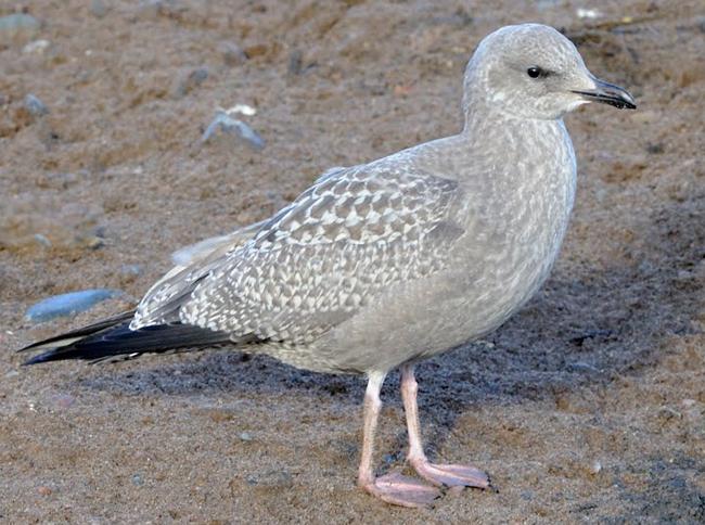 Female seagull - photo#35